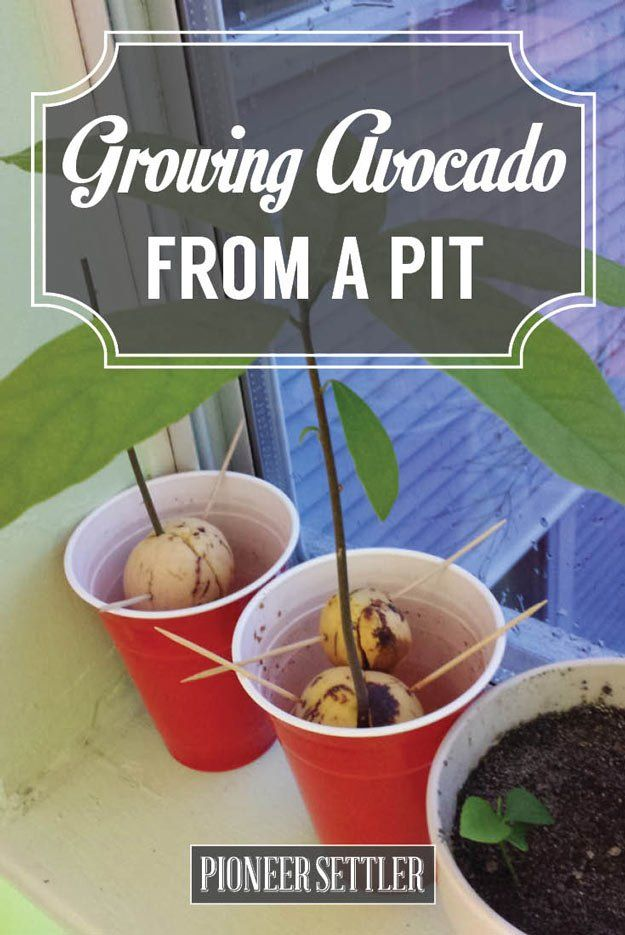 guide to grow avocado seed
