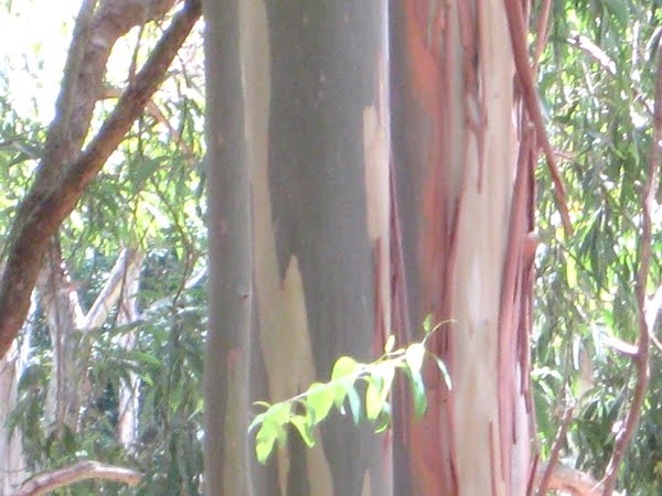 guide to identification of eucalyptus trees granite belt