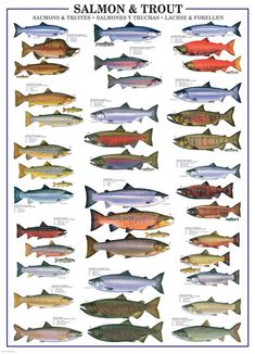 trout and salmon identification guide